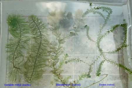 Variable milfoil (exotic), bladderwort, elodea comparison